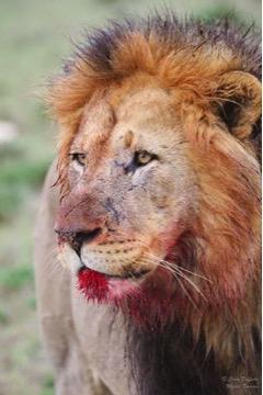 Lion Kill Addo